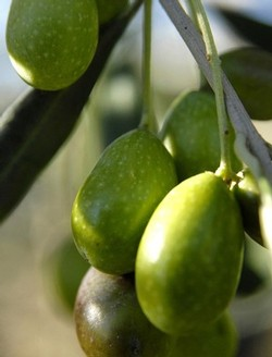 Olives on the branch at Frantoio Franci